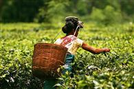 Your Favourite Cup Of Chai Is Keeping Tribal People In Bonded Labour